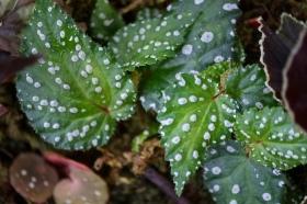 Begonia sp. Borneo