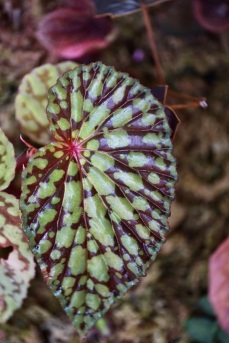 Begonia chlorosticta 'red form'