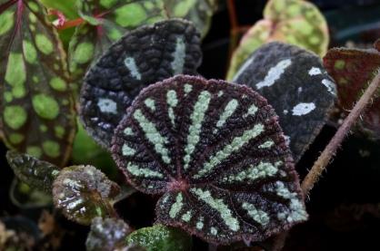 Begonia aff. debaoensis