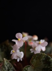 Begonia U074