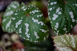 Begonia sp. Konmei