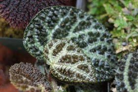 Begonia montaniformis