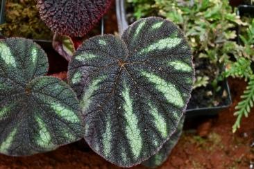 Begonia versicolor 'Teng form'